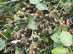Himalayan blackberry (Rubus armeniacus), (but please do not remove blackberry bushes during Spring, as it is used by birds for nesting).